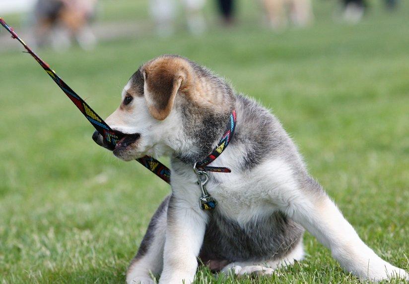 hundeleine-welpe